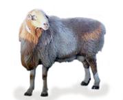 Горные овцы от 20 кг до 50 кг Кассоб SHER СЕРВИС с доставкой