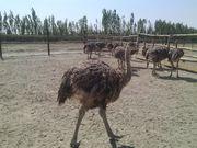 Птенцы страуса от 1 недели
