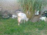Коза дойная,  зааненская,  молодая,  с козлятами
