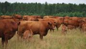 Корова жывой вес